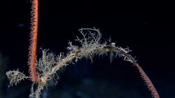 Orange antipatharia whip coral (black coral) with dead section colonized by hydroids and a few zooanthids. Photo