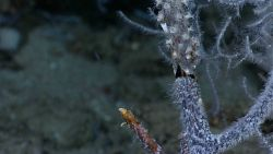 Black coral bush with white polyps and colonized by small white zoanthids on large branch above crack. Photo