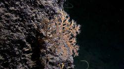 An orange antipatharia coral (black coral) Image