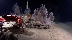 A large red crab in the foreground with gorgonians in the background Photo