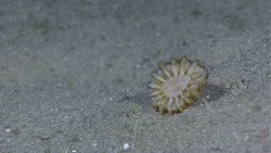 A solitary cup coral on a sandy bottom Image