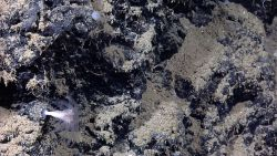 A large solitary cup coral with polyps extended. Image