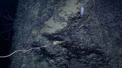 Anchor point of large iridogorgia coral with white squat lobster to left Image