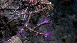 Purple coral? Zooanthids? Photo