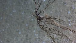 A black crinoid on a dead coral bush? sponge? Photo