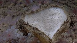 A valentine's day sponge surrounded by what appear to be worm tubes and small brown anemones Photo