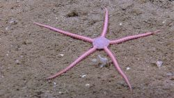 A pink brittle star with a pentagonal disk. Photo