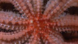 Central disk of a large orange beaded sea star. Photo