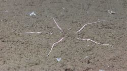 A skinny pink brittle star with its central disk buried in sediment. Photo