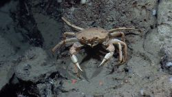 A golden crab (Chaceon fenneri) Photo