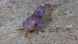 A large red and white spotted shrimp with huge eyes Photo
