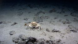 Golden crab (Chaceon fenneri) Photo