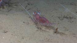 Manning hingebeak shrimp (Cinetorhynchus manningi) with huge eyes on sandy bottom. Photo