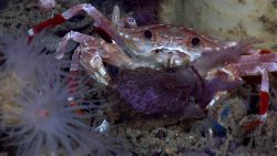 Bathyal swimming crab (Bathynectes longispina) eating jellyfish Photo