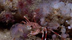 Bathyal swimming crab (Bathynectes longispina) eating jellyfish Photo