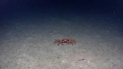 Red crab (Chaceon quinquedens) Photo
