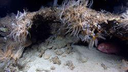 Ledge covered with crinoids, small sponges, and callogorgia? corals Photo