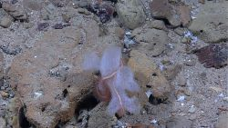 A glass sponge with a large brittle star wrapped about it on a rocky bottom. Photo