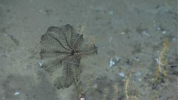 A black crinoid dominates this image Photo