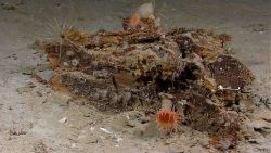 Complete view of woodfallwith orange and white anemones, white sponges, two crinoids, some white tubeworms, and other biota. Photo