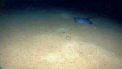 Large skate on the seafloor Photo