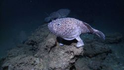 Two Shaefer's anglerfish (Sladenia shaefersi) Photo