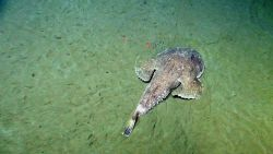 A goosefish, a type of anglerfish, lying in wait on the flat seafloor. Photo