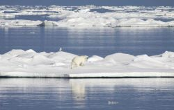 Polar bear crossing an ice floe. Photo