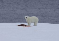 Polar bear on an ice floe with remains of a seal dinner. Photo