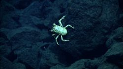 A squat lobster at Mata Ua. Image
