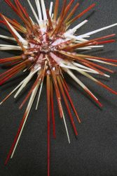 Coelopluerus sp., urchin collected with the Jason II remotely operated vehicle on NOAA Ship RONALD H Photo
