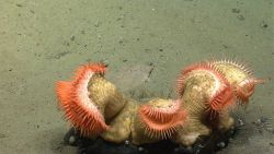 A cluster of orange venus flytrap anemones. Image