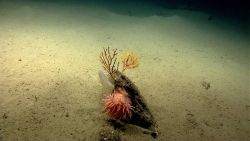 A large peach-colored anemone on a rock with small paramuricean corals and a small venus flowerbasket sponge. Image