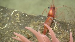 A white-and-red banded shrimp on a rock outcrop with tentacles of an anemone Image