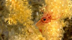 A red and white banded shrimp on a small yellow octocoral. Image