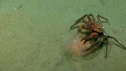 Deep sea red crab Chaceon quinquedens eating a jellyfish. Photo