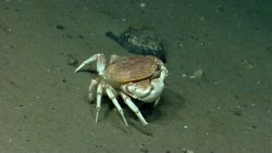 A large crab (Cancer sp.) Image