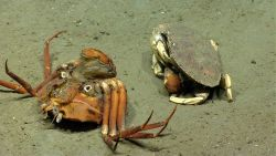 A large crab (Cancer sp.) eating a red crab (Chaceon quinquedens) Image