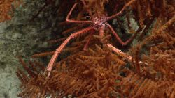 A spiky looking squat lobster in a black coral bush. Image