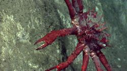 A large lithodid crab. Image