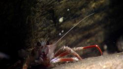 Squat lobster Photo