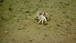 White hermit crab seemingly outgrowing its shell. Photo