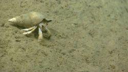 Hermit crab in welk shell. Photo