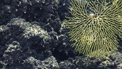 A yellow bryozoan. Image