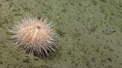 Sea urchin. Photo