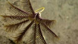 A purple and yellow stalked crinoid, sometimes called a