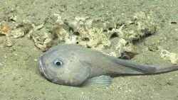 Deep sea fish Photo