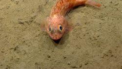 Blackbelly rosefish (Helicolenus sp.) Photo
