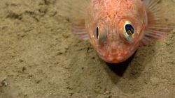 Blackbelly rosefish (Helicolenus sp.) Photo