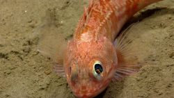 Blackbelly rosefish (Helicolenus sp.) OK Photo